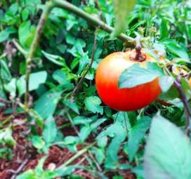 Sweet sweet tomatoes